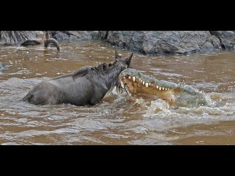 The Great Migration at Masai Mara - Live capture of crocodil