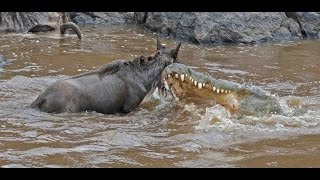 The Great Migration at Masai Mara - Live capture of crocodile hunting wildebeest