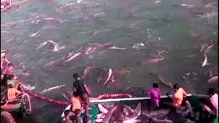 Proses Penangkapan Ikan Dilaut Lepas | Penangkapan Ikan | Memburu Ikan di Laut