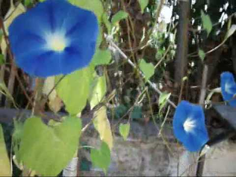 Blooming Heavenly Blue Morning Glory - YouTube