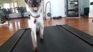 Janet Loper  My 7 month old Seal Point Siamese First Treadmill Challenge