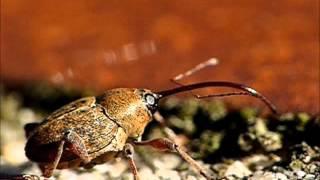 Eichelbohrer (Curculio glandium) - Weibchen