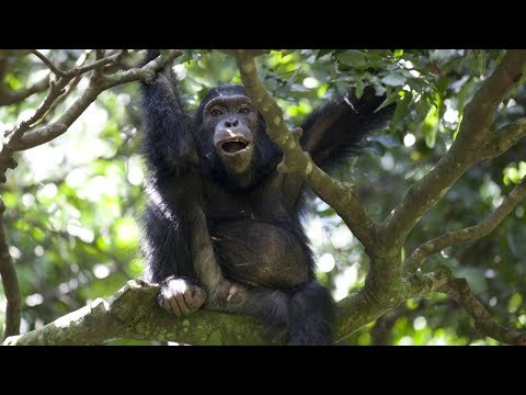 Watch Chimps Team Up To Hunt Colobus Monkeys | BBC Earth