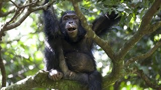 Watch Chimps team up to hunt Colobus Monkeys   BBC Earth