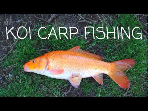 Wild Koi Carp Fishing In A Small Stream | NZ Freshwater Fishing / Coarse Fishing | Spring 2017