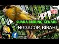 Burung Kenari  Nggacor Birahi  Untuk Pancingan Kenari Biar Kawin  Mp3 - Mp4 Download