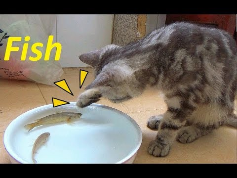 Funny Cat Play With Fish So Cute - Funny Cat vs Fish   고양이와 물고기 사이의 우정