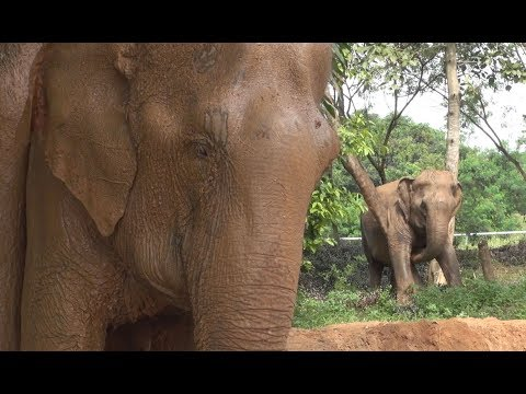 Samui Elephant Sanctuary A New Elephant Sanctuary of Thailand
