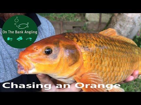 CATCHING ORANGE CARP - Greenwood Fishery