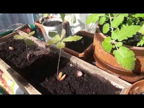 Вопрос: Можно ли желудь, привезенный с Крыма, посадить и вырастить дуб в Сибири?