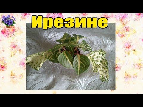 Ирезине (Iresine). Выращивание и уход