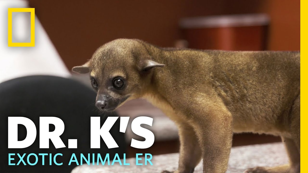 Raja the Rowdy Kinkajou | Dr. K's Exotic Animal ER