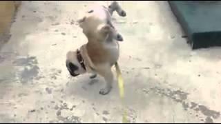 собака ссыт идя на передних лапах ;D