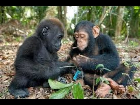 baby chimps crying