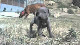 Weimaraner Puppies - Asd Kennels