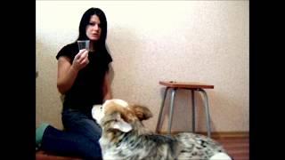 Обучение собаки распознаванию запахов. Урок №1