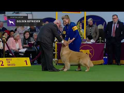 Golden Retriever (Part 1) | Breed Judging (2019)