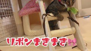 【子猫とリボン】キャットタワーにまきまきして遊ぶ☆【モカの成長記録】 thumbnail