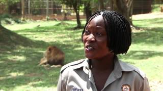 Conservation hopes rise with lion