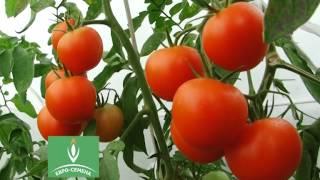Семена томатов: Староста, Зинаида, Перси