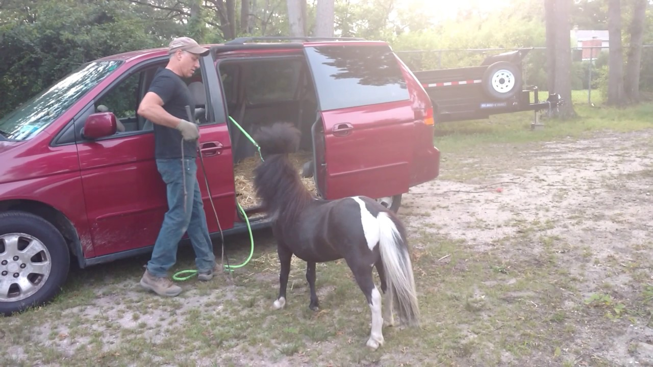 How To Load A Mini Horse In Minivan Youtube