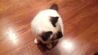 Birman kitten welcomes home owner