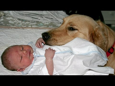 Golden Retriever and Babies Compilation NEW thumbnail