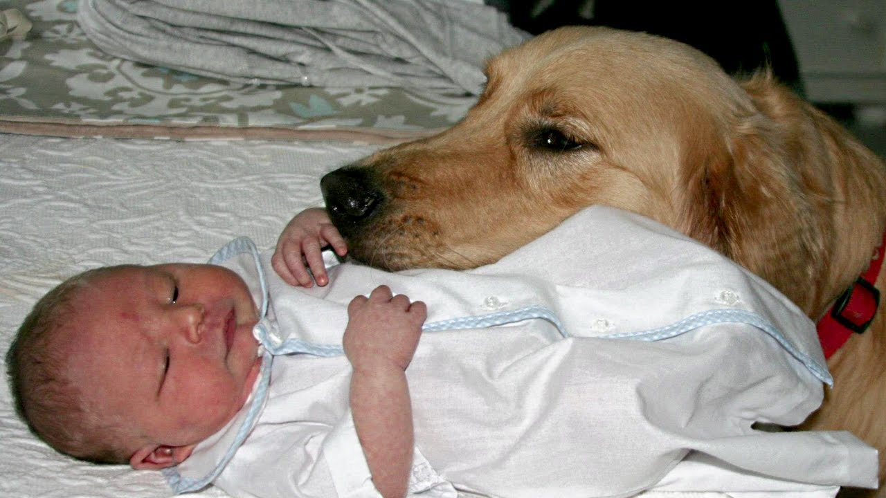 Golden Retriever And Babies Compilation New Youtube