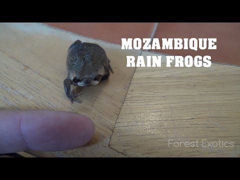 WORLDS CUTEST FROGS MOZAMBIQUE RAIN FROGS