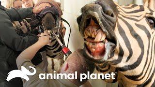 ¡La zebra necesita lijar sus dientes! | Los Irwin | Animal Planet