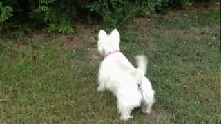 Funny Westie Stand Off With Wild Cat
