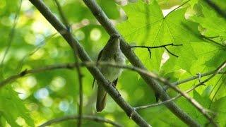 Пение соловья. Голоса птиц. Nightingale song. AllVideo.