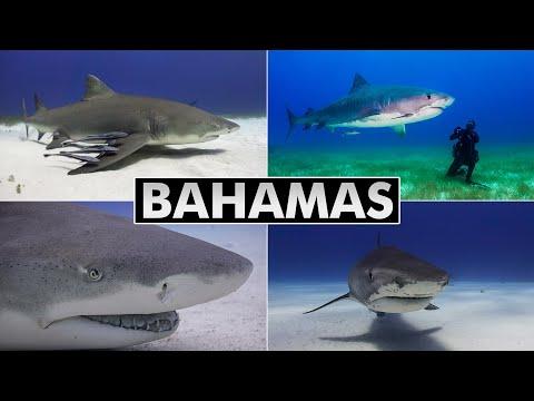 Diving Bahamas: Tiger Beach & Bimini (shark Diving)