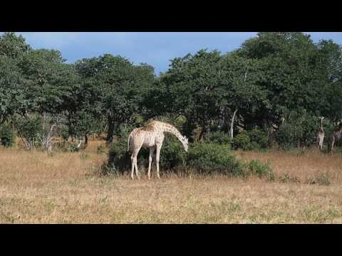 P4257413   Giraffen zover het oog strekt Chobe NP