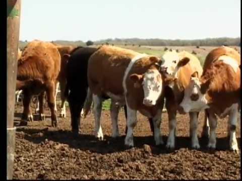 Cattle Handling Safety