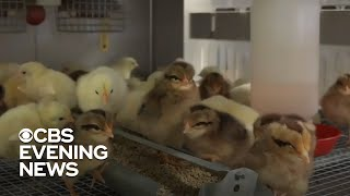 Demand for live chickens skyrockets as people fear running out of food