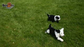 Cutest Sheepadoodle Dogs Video Compilation