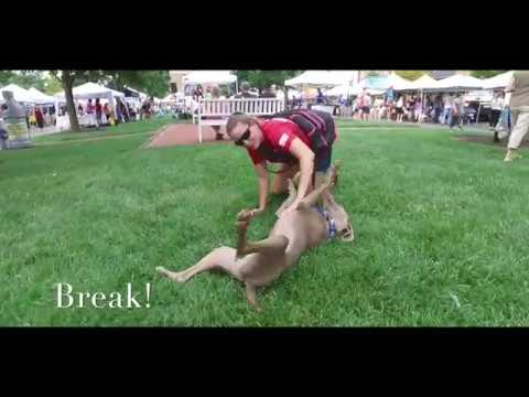 Best Dog Training in Columbus, Ohio! 8 Month Old Weimaraner, Duke!
