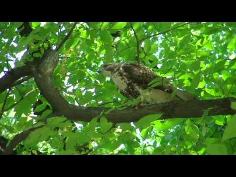 Redtail Hawk - Central Park - NYC