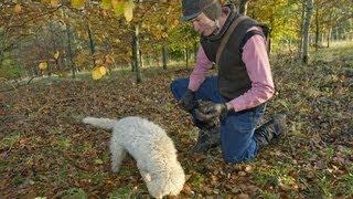 Truffle hunting in England?