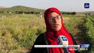 فلسطين.. دير بلوط تحتفي بموسم الفقوس بلا مهرجان | 06-06-2020