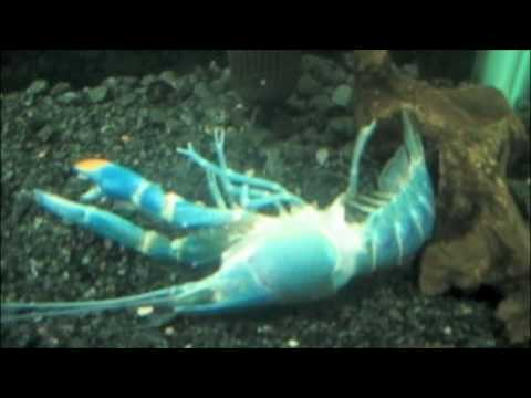 Blue Lobster Molting (full process) - YouTube