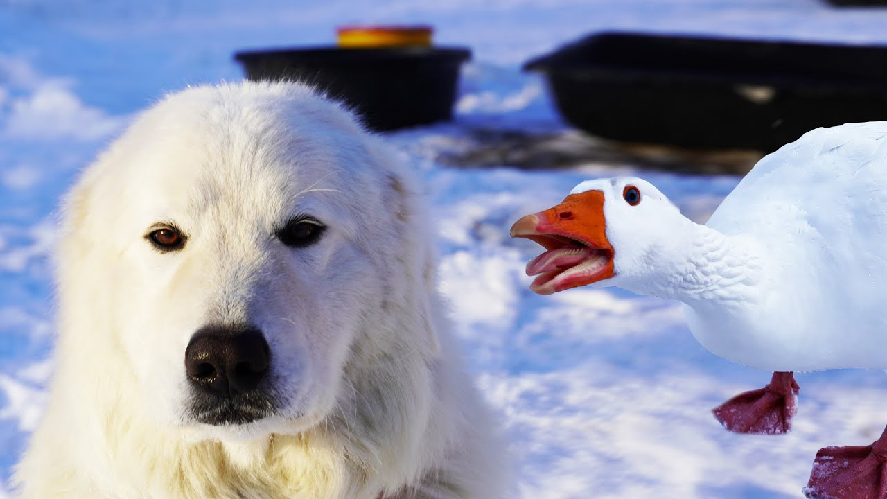 Download Can my Guard Dog survive Goose mating season?