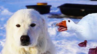 Can my Guard Dog survive Goose mating season?