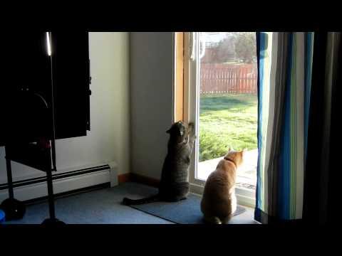 Cat opens sliding door like a human