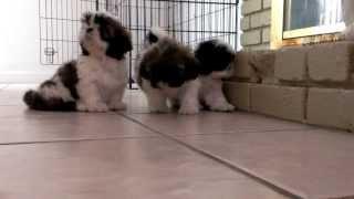 Cute Babies Shih Tzu Puppies