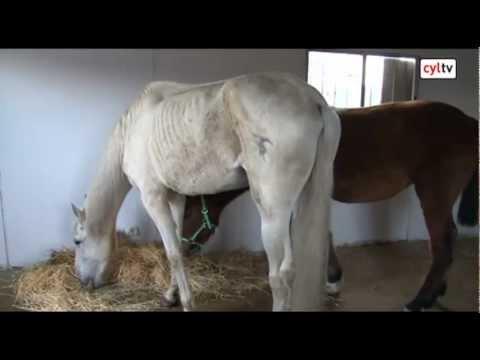 como engordar un caballo rapido y facil
