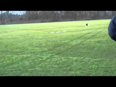 Lure Coursing, Scottish Deerhound, Best In Field Run, 'Mr Darcy' wins BIF, Littlestown, PA