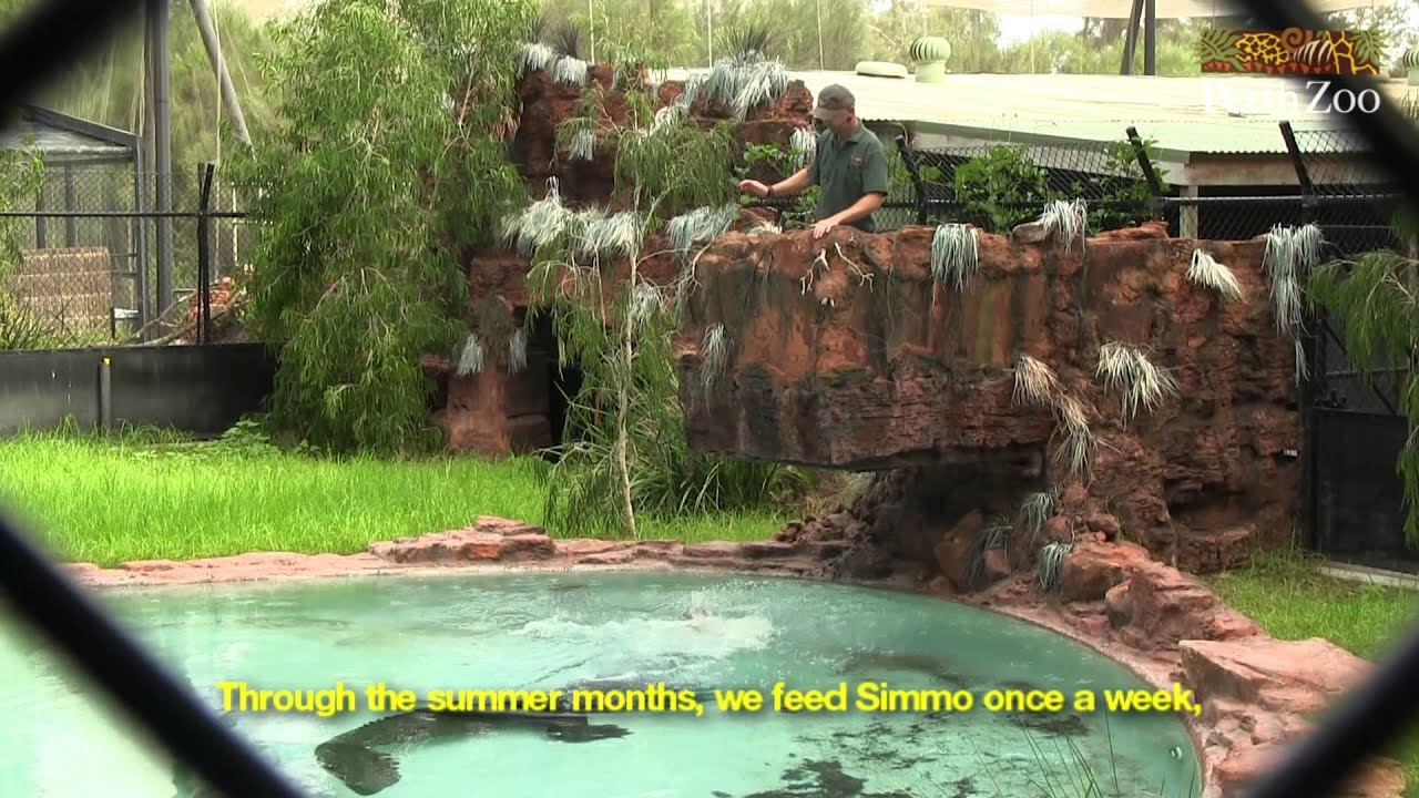 Saltwater Crocodile Feed At Perth Zoo Youtube