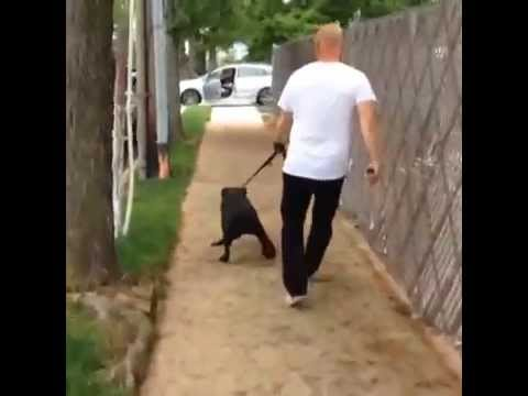 NYC Dog Training: Army Vet with Cane Corso, DctK9 SFS Program Blake Rodriguez,